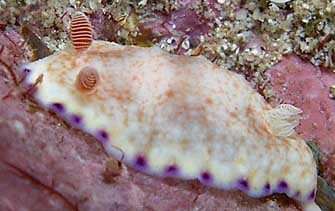 chromodoris allius