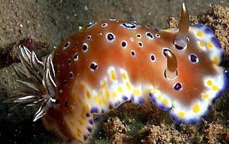 chromodoris tennentana